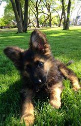 Agent Puppy