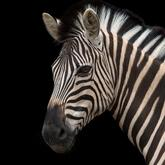 Agent Zebra